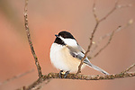 Black-capped chickadee holding part of a sunflower seed in northern Wisconsin.