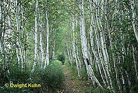 MT02-016b  Forest - path, white birch, Acadia National Park, Maine