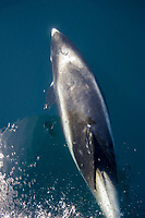 White beaked dolphin, Lagenorhynchus albirostris, Bow riding, Aerial view, North Sea, Europe