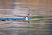 Common Loon (Gavia immer), Castine, Maine, US