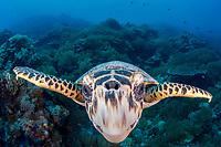 hawksbill sea turtle, Eretmochelys imbricata, Palau, Micronesia, Pacific Ocean