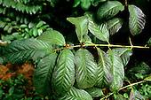 Amazon, Brazil. Rainforest plant; Croton cajucara (Sacaca), medicinal plant; liver, diabetes.