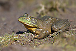 A bullfrog hangs out at Davis Creek Regional Park in Washoe Valley, Nev., on Wednesday, April 9, 2014. <br /> Photo by Cathleen Allison