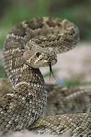 Western Diamondback Rattlesnake, Crotalus atrox, adult in defensive pose, Sinton, Texas, USA
