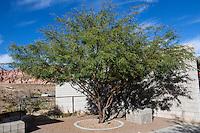 Red Rock Canyon, Nevada.  Honey Mesquite (Prosopis grandulosa) at Visitor Center.