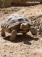 0609-1026  Desert Tortoise (Mojave Desert), Gopherus agassizii  © David Kuhn/Dwight Kuhn Photography