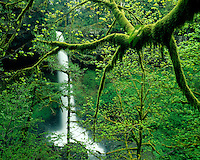 Moss-covered trees at North Falls; Silver Falls State Park, OR