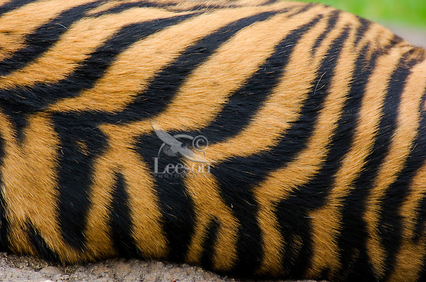 Sumatran Tiger (Panthera tigris) stripes.