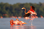 American Flamingo (Phoenicopterus ruber) landing. Yucatan, Mexico.