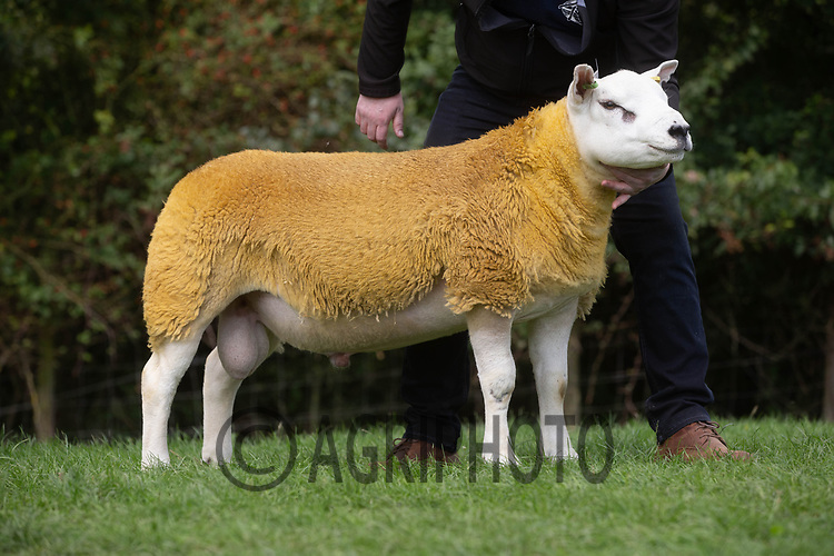 1.9.2020 Texel Sheep Society English National Sale<br /> Lot 216 Forkins  Dalglish sold for 2500 gns<br /> ©Tim Scrivener Photographer 07850 303986<br />      ....Covering Agriculture In The UK.