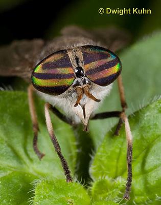 1F05-506z  Striped Horsefly, Female, close-up of face and compound eyes  - Tabanus subsimilis.