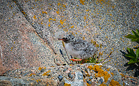 Downy Arctic Tern Chick walking on rocks