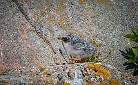 Downy Arctic Tern Chick walking on rocks