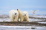 Polar bear (Ursus maritimus). Beaufort Sea coast, Alaska. October.