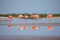 American Flamingos (Phoenicopterus ruber) . Rio Lagartos Reserve, Mexico. July.
