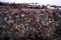 Fallen Sitka Spruce near Cape Alava, Olympic National Park, Washington, US
