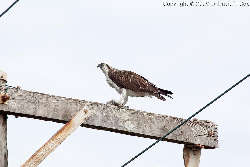 Osprey w fish, Myall Lakes to Pt Macquarie, NSW, Australia