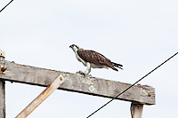 Osprey w fish, Myall Lakes to Pt Macquarie, NSW, Australia
