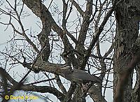0116-07ww  Camouflaged Great Blue Heron - Ardea herodias © David Kuhn/Dwight Kuhn Photography