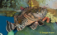 "TP11-564p  Spotted Scorpion Fish swimming ""Venomous Spines on Fish"" - Scorpaena plumieri"