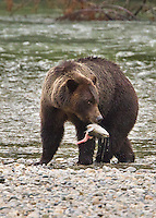 Grizzly Bear with Salmon at Butte Inlet, BC, Canada