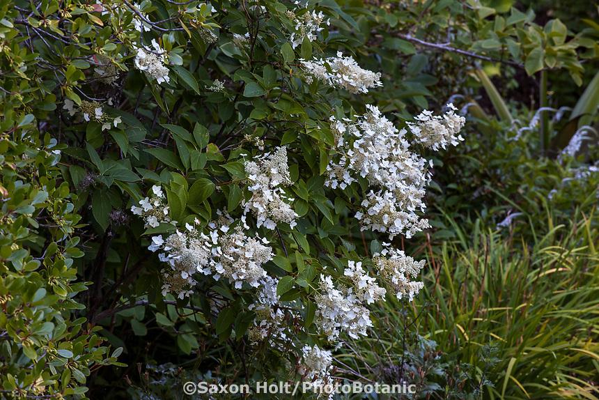 Hydrangea paniculata Panicle Hydrangea flowering shrub in University of California Berkeley Botanical Garden