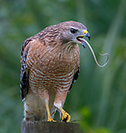 Bird of prey looks to have a long tongue as it swallows a snale whole by Liwen Tao