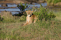 Female Lion basks in morning light on the  Mara River bank, Masai Mara, Kenya.