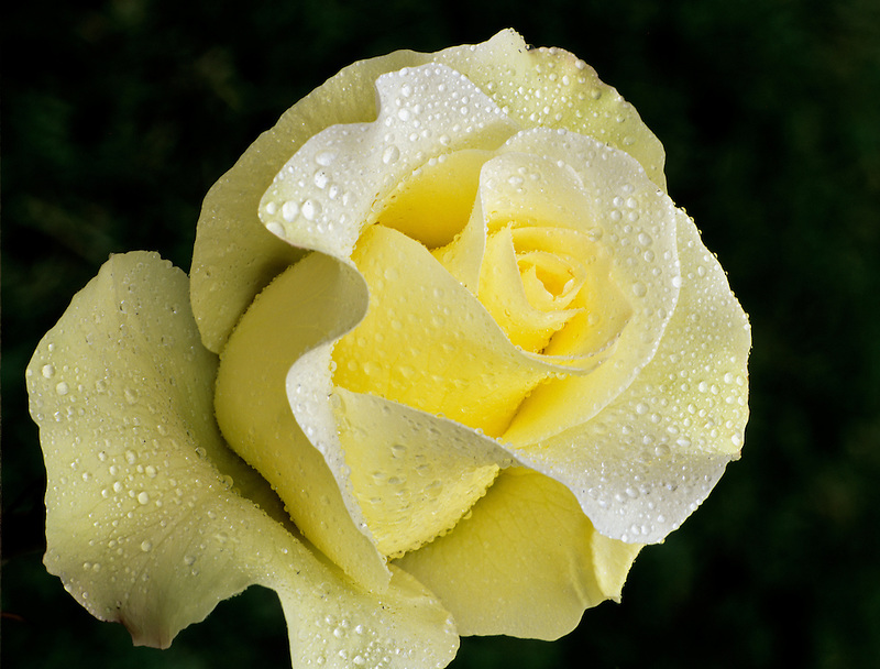 John F. Kennedy rose with dew. International Rose Test Gardens. Portland, Oregon.