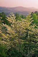 Flowering dogwood<br /> North Mountain<br /> Hot Springs National Park<br /> Arkansas