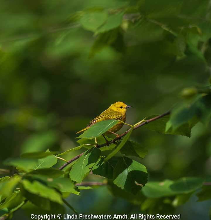 Male yellow warbler in northern Wisconsin.