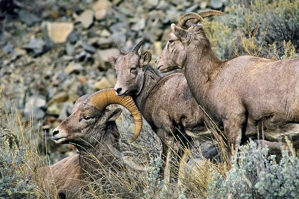California bighorn sheep (Ovis canadensis)