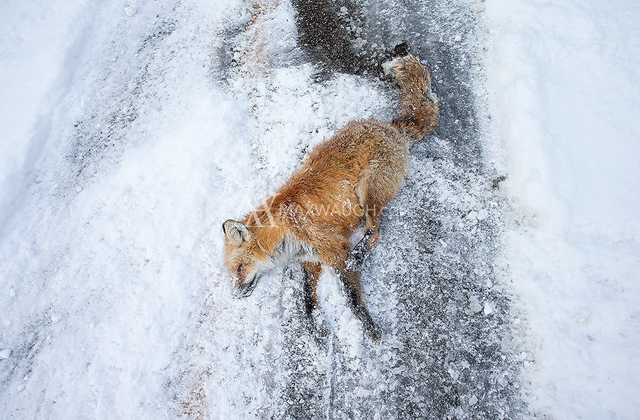A red fox lies in the road, a casualty of a vehicular collision on the edge of Silver Gate. Speeding is a common issue in Yellowstone's border towns as people rush to and from the park. Over the years, a number of Silver Gate's foxes have been lost to road accidents.