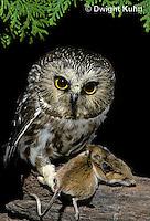 OW03-092z  Saw-whet owl - with mouse prey - Aegolius acadicus