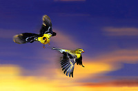 Where she goes I will follow: Male American goldfinch, Spinus tristis, following female as west sun reflects on clouds