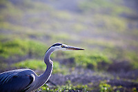 A classic identifying feature of the Great Blue Heron is its long, S-shaped neck.