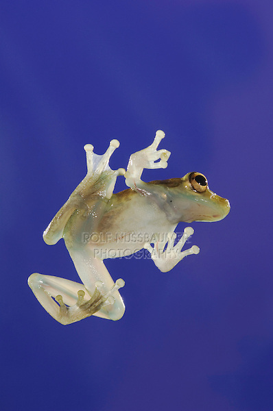 Emerald Glass Frog, Centrolene prosoblepon, adult on glass showing underside, Central Pacific Coast, Costa Rica, Central America