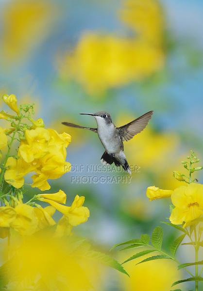 Ruby-throated Hummingbird (Archilochus colubris), female in flight feeding on Yellow bells (Tecoma stans) flower, Hill Country, Texas, USA