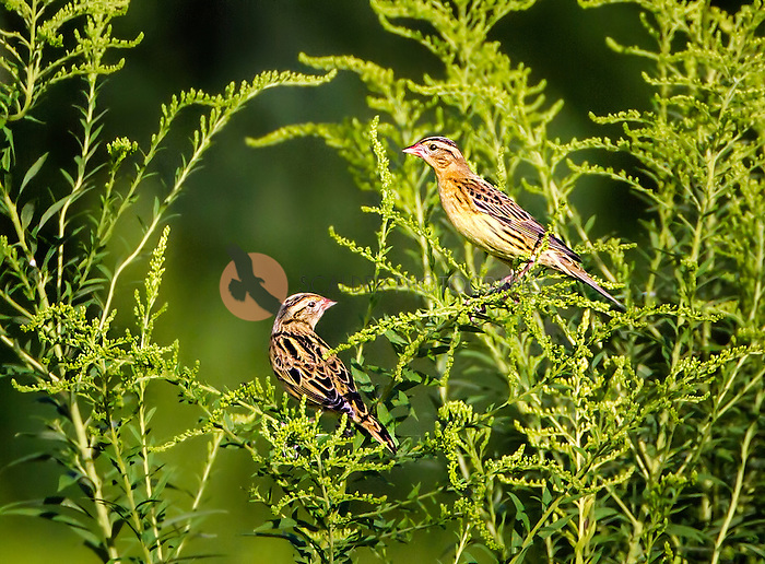 Pair of non-breeding Bobolinks perched in green plants