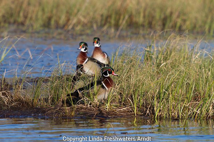 Drake Wood Ducks