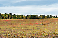 Blueberry field, Maine, ME, USA