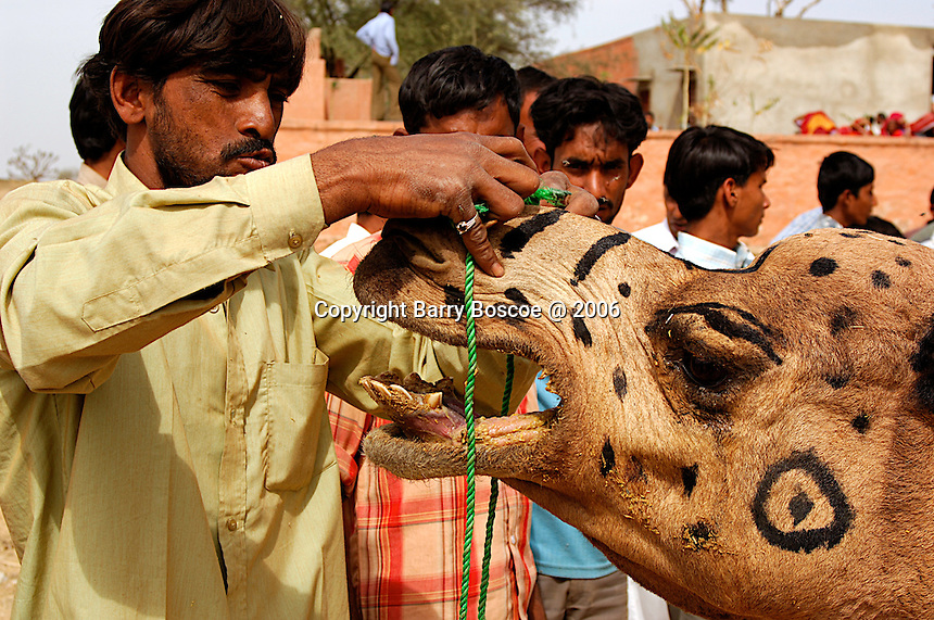 A camel handler puts a line through the nose of an angry camel in Rajasthan, India.