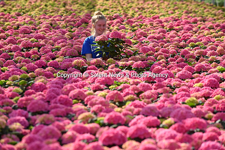 "Pictured:  Alexandra Paton checking the stock of Rosita Hydrangeas.<br /> <br /> Spring has sprung earlier than usual at the family run Pinetops Nurseries in Lymington, Hants.  The nurseries, established in 1959 by the Paton family, are currently selling around 20,000 plants per week compared to usually around 7,000 for this time of year. Twins, Stuart and Ian, nurture and tend to the plants, whilst Rory and his mum Jean sell them. <br /> <br /> The greenhouse is almost completely automated with screens, ventilation, heating, irrigation, bringing in tables (large rolling trays filled with plants), which are all controlled centrally.  Staff are required to keep a careful eye on all of the plants, whilst also wrapping and packing them onto lorries to be delivered.  <br /> <br /> Some of the nursery workforce come from abroad, returning annually during key busy periods.  Despite Covid quarantining procedures causing a couple of issues where staff found it hard to return from Europe and were delayed, they are now currently almost fully staffed. To assist in this peak season Alexandra Paton, 19, has come back during her Easter break from studying Computer Science at Durham University. <br /> <br /> Her father, Rory Paton said, ""The season has been brought forward, and demand is high due to a combination of factors, the weather has been lovely for a start. We have many new gardeners, who during the restrictions have re-engaged with their gardens and are keen to get going again.  With young plant and material supply problems in early January due to Brexit and Covid-19 freight problems there is a shortage of plants generally and demand for plants in Europe is equally as strong.""<br /> <br /> ""Like many businesses, we found last spring ridiculously hard . This spring has brought insatiable demand for plants with shortage in supply a welcome change, whilst it will take time to rebuild it is lovely to be busy.  It's very welcome to see some green shoots!  As we're really busy now we're working overtime and it is all hands to the pu"