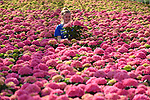 """Pictured:  Alexandra Paton checking the stock of Rosita Hydrangeas.<br /> <br /> Spring has sprung earlier than usual at the family run Pinetops Nurseries in Lymington, Hants.  The nurseries, established in 1959 by the Paton family, are currently selling around 20,000 plants per week compared to usually around 7,000 for this time of year. Twins, Stuart and Ian, nurture and tend to the plants, whilst Rory and his mum Jean sell them. <br /> <br /> The greenhouse is almost completely automated with screens, ventilation, heating, irrigation, bringing in tables (large rolling trays filled with plants), which are all controlled centrally.  Staff are required to keep a careful eye on all of the plants, whilst also wrapping and packing them onto lorries to be delivered.  <br /> <br /> Some of the nursery workforce come from abroad, returning annually during key busy periods.  Despite Covid quarantining procedures causing a couple of issues where staff found it hard to return from Europe and were delayed, they are now currently almost fully staffed. To assist in this peak season Alexandra Paton, 19, has come back during her Easter break from studying Computer Science at Durham University. <br /> <br /> Her father, Rory Paton said, """"The season has been brought forward, and demand is high due to a combination of factors, the weather has been lovely for a start. We have many new gardeners, who during the restrictions have re-engaged with their gardens and are keen to get going again.  With young plant and material supply problems in early January due to Brexit and Covid-19 freight problems there is a shortage of plants generally and demand for plants in Europe is equally as strong.""""<br /> <br /> """"Like many businesses, we found last spring ridiculously hard . This spring has brought insatiable demand for plants with shortage in supply a welcome change, whilst it will take time to rebuild it is lovely to be busy.  It's very welcome to see some green shoots!  As we're really busy """