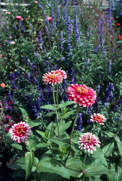Zinnia Whirligig Whirlygig and Salvia farinacea, annual flowers planted togerhter in the garden