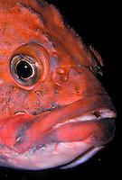 Yelloweye Rockfish aka Red Snapper..Pacific Coast, North America, from Aleutian Islands to Baja California..(Sebastes ruberrimus).