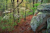 Flowering dogwood<br /> Cedar Creek Canyon<br /> Petit Jean State Park<br /> Conway County,  Arkansas