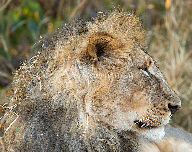 The lions at Mashatu are big and beautiful.  They look less beat up than their South African counterparts in part due to less competition from other lions.