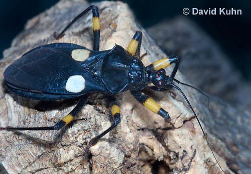 0403-1103  White-eyed Assassin Bug, African Assassin Bug, Platymeris biguttatus  © David Kuhn/Dwight Kuhn Photography
