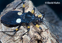 0403-1103  White-eyed Assassin Bug, African Assassin Bug, Platymeris biguttatus  © David Kuhn/Dwight Kuhn Photography